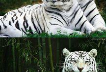 Голубые тигры