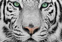 tiger cerise