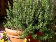 Growing - Rosemary