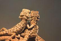 pogona vitticeps bearded dragon