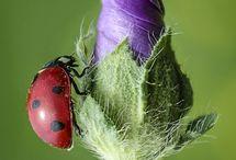 Ladybirds / Ladybugs