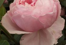 Exquisite Roses / Roses I would love to grow.