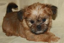Our Shorkie Puppies / Photos of our shorkie puppies :0)  . you can visit our website at http://www.shorkieworld.com our furkids come home with LOTS of stuff including a Lifetime health warranty