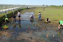 Salt Marsh Grass Planting Volunteer Day / We would like to sincerely thank everyone who came out and helped us restore the damaged sections of the marsh. It was not an easy or a clean task and we appreciate all your help! We planted 1500 plugs of cordgrass (Spartina alterniflora).