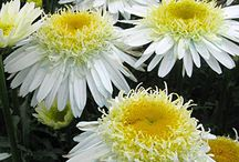 Shasta Daisy (Leucanthemum hybrids) / Shasta daisies are a large group of generally  white flowered daisies in the genus Leucanthemum (they were formerly considered to be part of the genus Chrysanthermum).