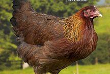 2015 chickens calendar