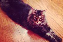 Maine coon cat / Beau et grand, le maine coon est un véritable lynx de salon.