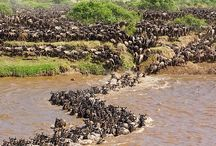Maasai Mara National Reserve / It is globally famous for its exceptional population of lions, leopards and cheetahs, and the annual migration of zebra, Thomson's gazelle, and wildebeest to and from the Serengeti every year from July to October, known as the Great Migration.