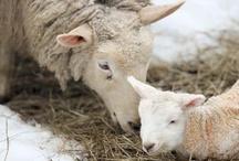 Sheep and Woolies / by Kristin Nicholas