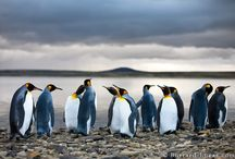 King Penguins .... Love to go there!