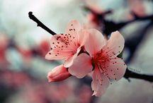 Zakura  Cherry blossom