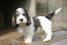 Petit Basset Griffon Vendeen / Puppy en volwassen hond