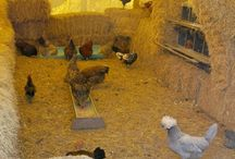 Self Sufficiency: Chickens / Raising chickens for eggs and meat.