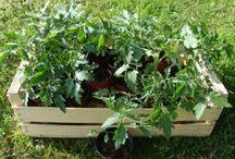 Les tomates / Tout sur la culture de tomates: plantation, entretiens et engrais .