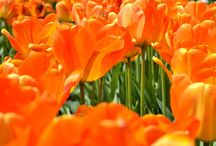 Tulip Gardens - Woodland Wa