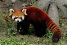 Red Panda {For Daniel} / Cutest. Animal. On. Earth