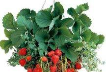 Garden : Growing Food