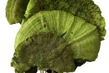 Decorative Dried Sponge Mushrooms / Decorative Dried Sponge Mushrooms, an interesting and colorful accent.