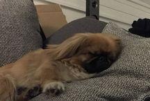 Charlie Pekignese dog