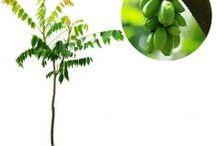 Sakit kepala, Batuk dan Flu / Semua tanaman dalam board ini bisa dikirim keseluruh Indonesia, silahkan order ya, tel: 0341-599399 I SMS center: 08569020300 atau kunjungi website kami www.kebunbibit.id
