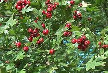 Botany - Herbs