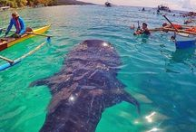 Oslob - Philippines / There is just so much to experience in Oslob, Philippines. Famous for is marine life and whale sharks.