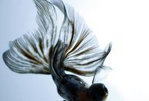 Fancy smency GoldFish / Goldfish