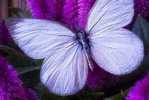 Motylek dla Klaudji