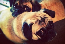 pugs pugs and more!! / by Jessica Mosier