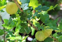 Uva Spina - Goosberry / Vendita Online Piante d'Uva Spina. Sale Online Goosberry Plants.
