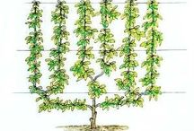 Training fruit trees and espalier
