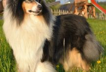 Rough Collie / International Dog's Personal Websites Catalogue
