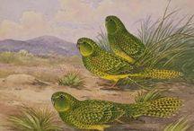 Geopsittacus / Il genere di pappagalli Geopsittacus è monospecifico, comprende dunque un un'unica specie, il geopsittacus occidentalis, curioso pappagalllo australiano dalle abitudini notturne. Molti studiosi ritengono che tale genere andrebbe fuso ai generi pezoporus e stringops per le evidenti affinità presenti fra queste tre generi tutti monospecifici, che dovrebbero semplicemente essere annoverati come tre differenti sottospecie.  http://www.pappagallinelmondo.it/geopsittacus.html