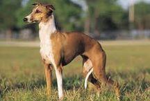 Itallian greyhounds