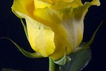Neil perfect yellow rose