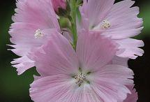 Sidalcea Checkerbloom