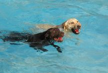 """Labrador Retriever / The Labrador Retriever is the original water dog, with a weather resistant and waterproof coat and an """"otter"""" tail it uses to steer like a boat's rudder when swimming. Its heavy body set and strong legs enable the Labrador Retriever to powerfully swim and run - and frequent exercise is needed to keep the Labrador Retriever dog breed healthy and occupied."""