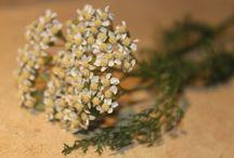 Botany - herbs, flowers, medicinal plants
