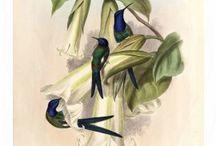 John Gould's Hummingbirds