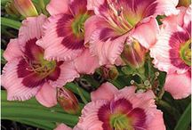 DAYLILY / There are some 75,000 plus named hybrid cultivars in a range of flower sizes and forms.