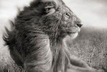 lion ♡