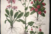 Basilius Belsler / 1613 Primula Veris Gemino Flore, Doronicum, Primula Veris Flore Plens, Garisplyllata montana