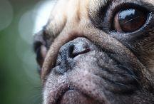 Pugs and bulldogs