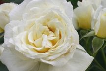 White and off-white roses