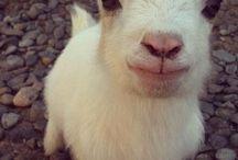 Goats / Sweet goats help.