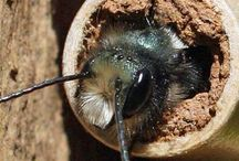 Mason Bees / Mason bees are excellent pollinators-- 300% better than honeybees! These adorable and gentle bees visit your flowers and fruit trees, helping your garden flourish. This board is dedicated to all things Mason Bees. / by Bee Thinking