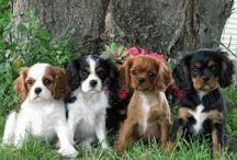 """Cavalier King Charles Spaniels / These dogs are """"Pure Love"""".  We love our Sadie like a daughter and she brings us great joy. All King Charles families shared similar thoughts, so I thought I'd collect as many King Charles photos as I could - JIM   ... JamesAZiegler.com"""
