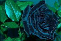 roses / by terri morgan