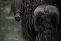 Friesian photo