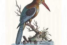 Edwards - Sammlung Verschiedener Ausländischer und Seltener Vogel from Johann Michael Seligmann
